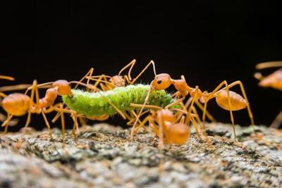 Муравьи нападают на гученицу