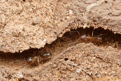 Муравьи улучшают структуру почвы