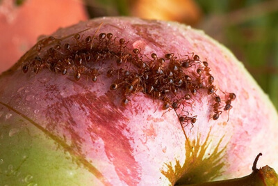 Муравьи питаются опавшими плодами