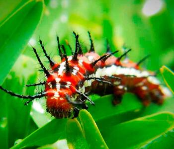 Ядовитые гусеницы