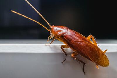 Рыжие тараканы, или прусаки, имеют желтовато-коричневую окраску