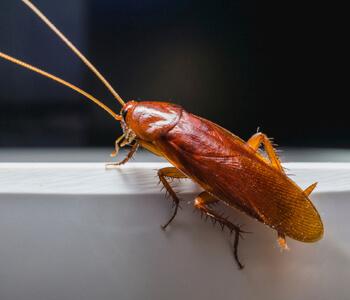 Рыжий таракан (прусак): описание, поведение и причиняемый вред