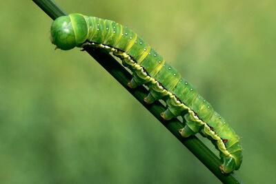 Лаврициды уничтожают личинок - гусениц