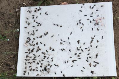 Аттрактанты – это привлекательны для насекомых вещества