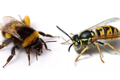 Отличительные характеристики ос и пчел