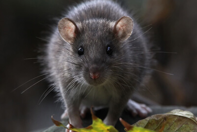 Грызуны (крысы и мыши) распространяют блох