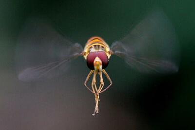 Комары могут пролетать расстояния в 30 км