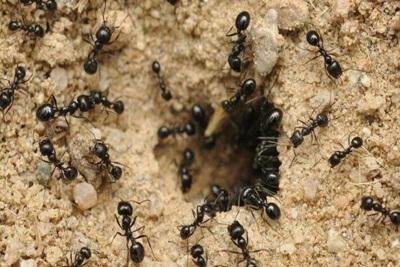 Чем вредят муравьи в огороде?