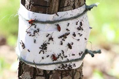 Клеевые ловушки — «ловчие пояса» от муравьев