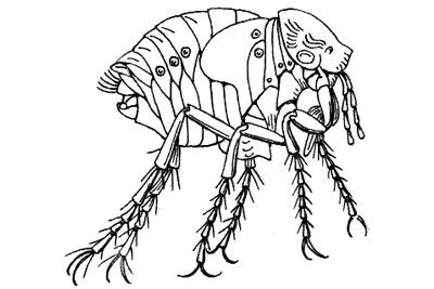 Tunga penetrans – бразильская земляная блоха