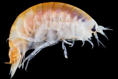 Морская блоха (бокоплав, или гаммарус)