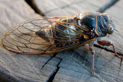 Кто такие цикады? Описание насекомого