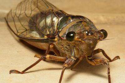 Как развиваются и где обитают цикады?