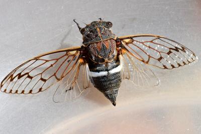 Внешний вид и строение цикад