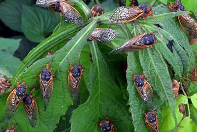 В Америке появились цикады периодические 2021