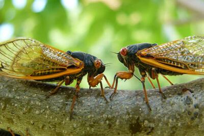 Цикады стрекочут для спаривания