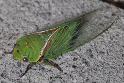 Цикада насекомое