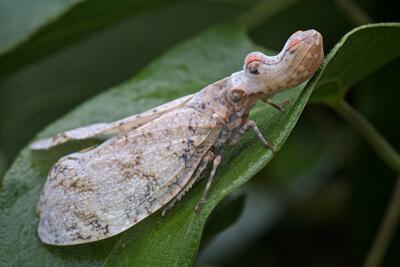 Суринамская фонарница – цикада-крокодил