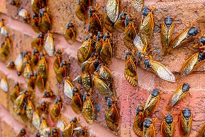 Цикада периодическая (Cicada septemdecim)