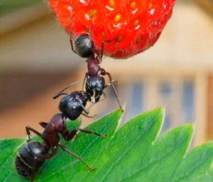 Как избавиться от муравьев в огороде?