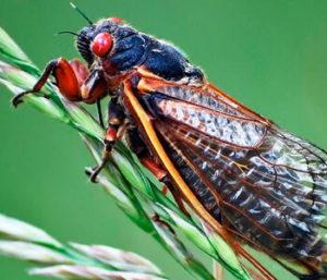 Певучее насекомое цикада: фото и описание
