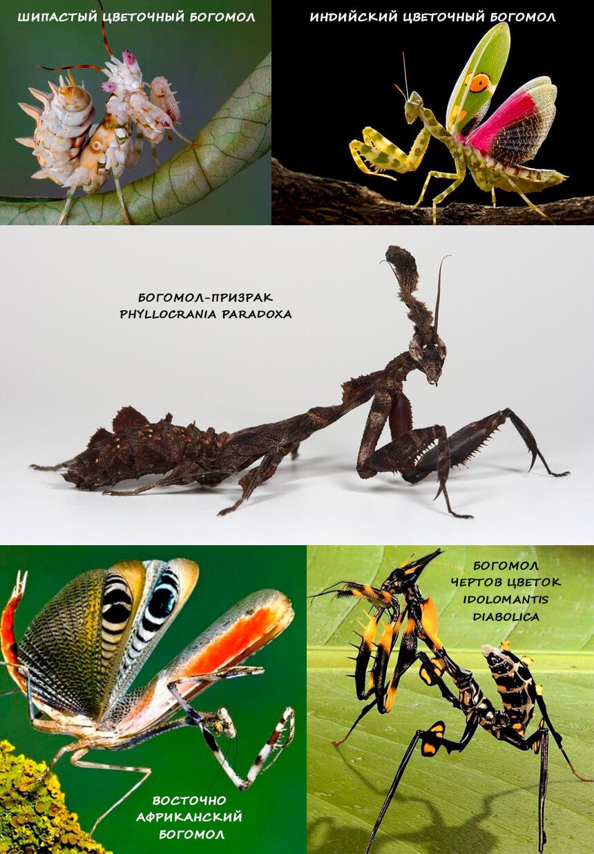 Фото богомолов - насекомые тропиков
