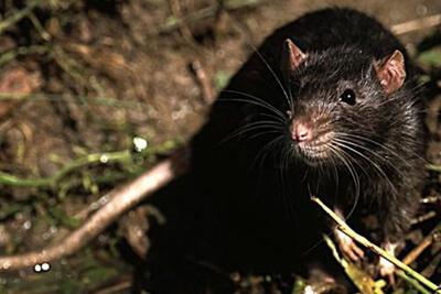 Черная крыса - основной переносчик чумы
