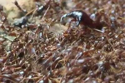 Кочевые муравьи-убийцы