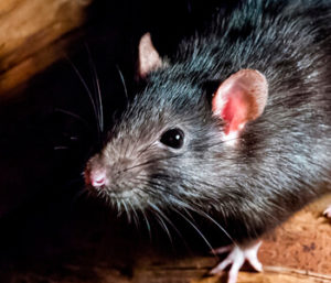 Черная крыса – фото, описание, опасность